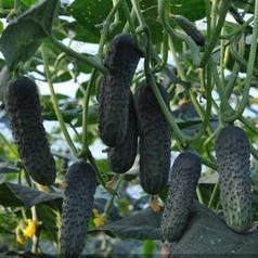 ЛЮТОЯР F1 / LUTOYAR F1, 500 насінин — партенокарпічний огірок, Yuksel Seeds