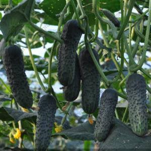 ЛЮТОЯР F1 / LUTOYAR F1, 500 семян — огурец партенокарпический, Yuksel Seeds, фото 2