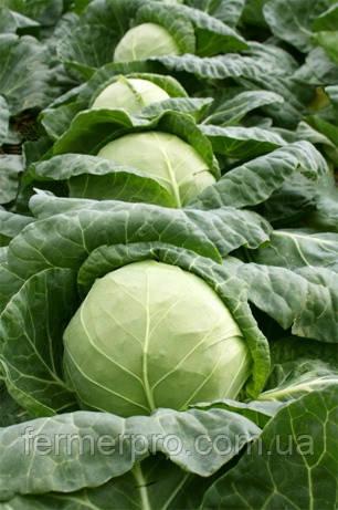 Семена капусты Ортус F1 2500 cем. Takii Seeds