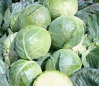 Семена капусты Глоуб Мастер (Компас) F1 10 грамм Takii Seeds