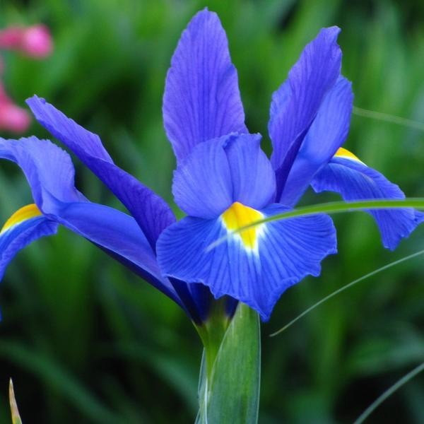 Ирис голландский Blue Magic