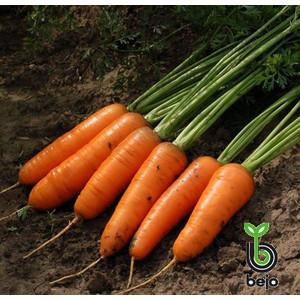 Семена моркови Каскад F1 100000 семян (Бейо / Bejo) - среднепоздний гибрид (130 дней), тип Шантане