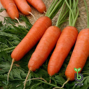 Семена моркови Карини 500 г (Бейо/Bejo) — ранняя сортовая (100 дней), тип Курода
