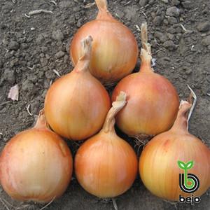 Семена лука Седона F1 (Бейо / Bejo) 250000 семян - среднепоздний (110-116 дней), желтый, круглый, репчатый.