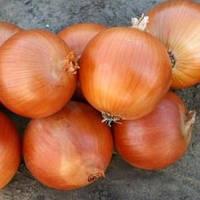 Семена лука Универсо F1 (Nunhems) 100000 семян — среднепоздний (115-120 дней), золотистый, круглый, репчатый