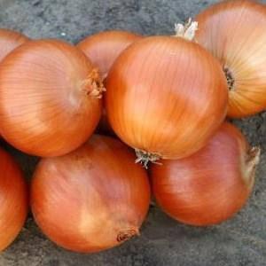 Семена лука Универсо F1 (Nunhems) 100000 семян — среднепоздний (115-120 дней), золотистый, круглый, репчатый, фото 2