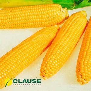 Семена кукурузы Леженд F1 (Clause), 1 кг — ранняя (70 дней), сахарная