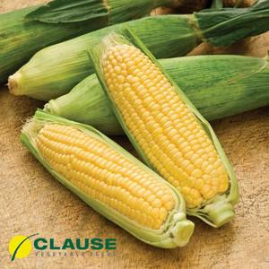Семена кукурузы Лендмарк F1 (Clause), 10 кг — ранняя (70-73 дня), сахарная. Очень сладкая!!!