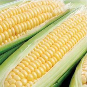 Семена сахарной кукурузы Свит Парадайз F1, 2500 семян. Ранняя — №1 по сладости в Украине, фото 2