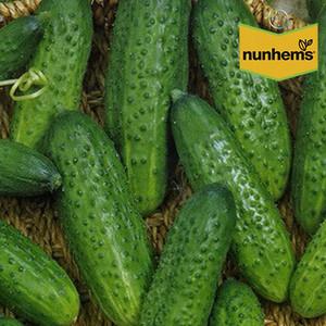 Семена огурца Гектор F1 (Nunhems) 500 семян — пчелоопыляемый, ультра-ранний гибрид (40-44 дня)
