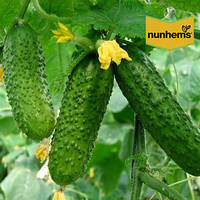 Семена огурца Аякс F1 (Nunhems / САДЫБА ЦЕНТР) 50 семян - пчелоопыляемый, ультра-ранний гибрид (42-44 дня)
