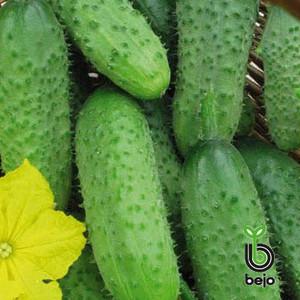 Семена огурца Астерикс F1 / Asterix F1 (Бейо / Bejo) 500 г - пчелоопыляемый, ранний гибрид (45-48 дней)