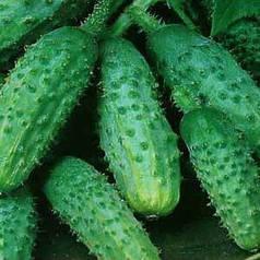 Семена огурца Акорд F1 / Аккорд F1 (Бейо / Bejo) 10 г - пчелоопыляемый,  ультра-ранний гибрид (40-45 дней)