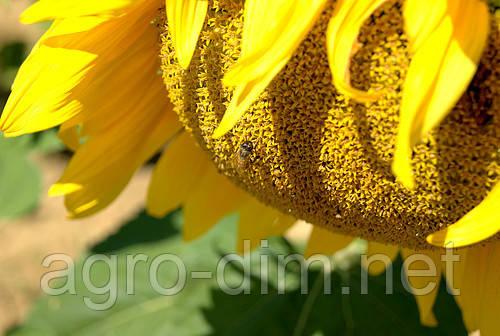 Семена подсолнечника АТИЛЛА, фото 2