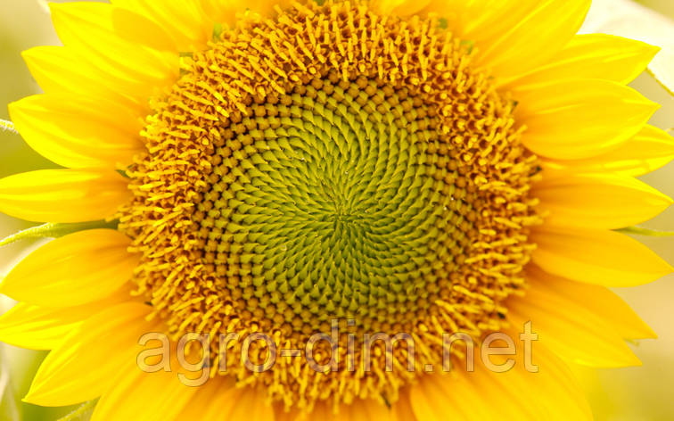 Семена подсолнечника АРАКАР, фото 2