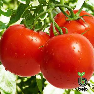 Семена томата Ричи F1 5 г (Бейо/Bejo) — ранний (62-65 дня), красный, детерминантный, круглый