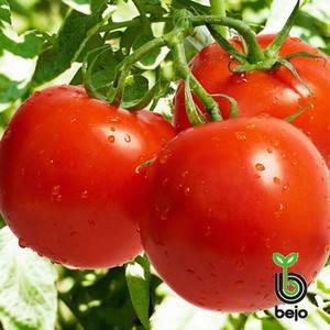 Семена томата Ричи F1 (Бейо/Bejo/САДЫБА ЦЕНТР) 0,05 г — ранний (62-65 дн), красный, детерминантный, круглый, фото 2