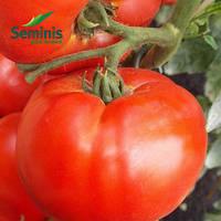 Семена томата детерминантного Дебют F1 1000 сем/Seminis — среднерослый, с длительным периодом плодоношения