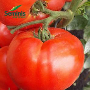 Семена томата детерминантного Дебют F1 1000 сем/Seminis — среднерослый, с длительным периодом плодоношения, фото 2