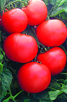 Семена томата Дебют F1 ( Debut F1  ( Seminis ))