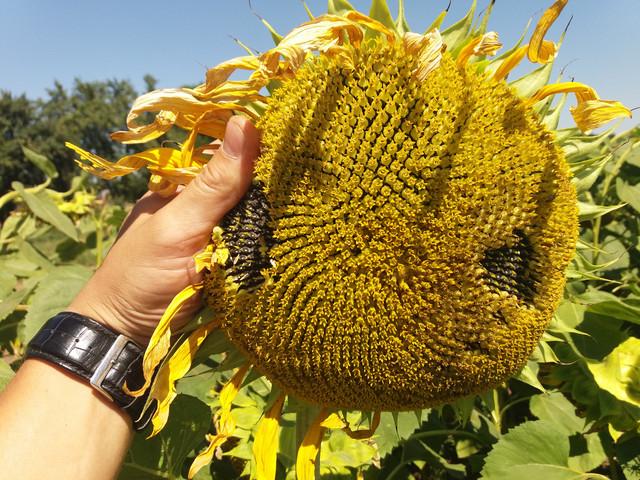 Подсолнечник РИМИСОЛ под Евролайтнинг, Семена устойчивые к заразихе. Гибрид засухоустойчивый. Урожай - 50 ц / га