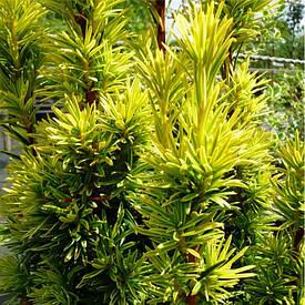 Тис ягідний Summergold 3 річний, Тис ягодный Саммерголд, Taxus baccata Summergold