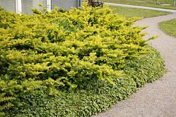Тис ягідний Summergold 3 річний, Тис ягодный Саммерголд, Taxus baccata Summergold, фото 3