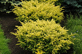 Тис ягідний Summergold 3 річний, Тис ягодный Саммерголд, Taxus baccata Summergold, фото 2