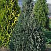 Кипарисовик Лавсона White spot 3 річний, Кипарисовик Лавсона Вайт Спот, Chamaecyparis Lawsoniana White spot, фото 6
