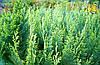 Кипарисовик Лавсона White spot 3 річний, Кипарисовик Лавсона Вайт Спот, Chamaecyparis Lawsoniana White spot, фото 3