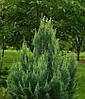 Кипарисовик Лавсона White spot 3 річний, Кипарисовик Лавсона Вайт Спот, Chamaecyparis Lawsoniana White spot, фото 5