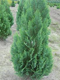 Кипарисовик Лавсона White spot 3 річний, Кипарисовик Лавсона Вайт Спот, Chamaecyparis Lawsoniana White spot