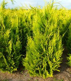 Кипарисовик Лавсона Іvonne 3 річний, Кипарисовик Лавсона Ивонне, Chamaecyparis lawsoniana Іvonne