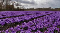 На Херсонщині планують збільшувати площі під вирощуванням найдорожчої спеції у світі