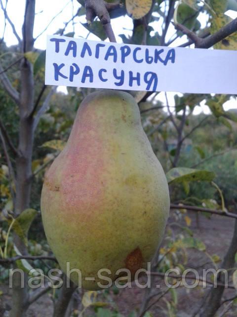 Саженцы груши Талгарская красавица    (Казахстан)