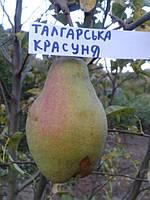 Саженцы груши Талгарская красавица    (Казахстан), фото 1