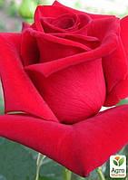 """Эксклюзив! Роза чайно-гибридная насыщенного красная """"Мгновение любви"""" (Moment of love) (сорт на полезное варенье)"""