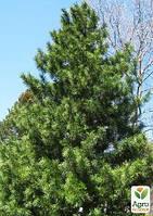 """Сосна """"Корейский кедр"""" (Pinus koraiensis) горшок P9"""