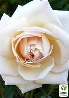 """Роза английская плетистая """"Пенни Лейн"""" (саженец класса АА+) высший сорт"""