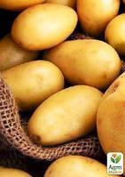 """Семенной среднеранний картофель """"Электра"""" (на жарку, 1 репродукция) 1кг"""
