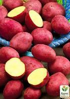 """Семенной ранний картофель """"Кристина"""" (на жарку, 1 репродукция) 1кг"""