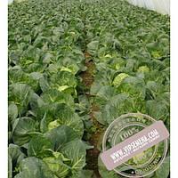 Seminis Глобус F1 (Globus F1) Семена ранней капусты (48-53 дня) от фирмы Seminis (2500 семян)