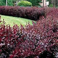 Барбарис - прекрасное растение для живой изгороди