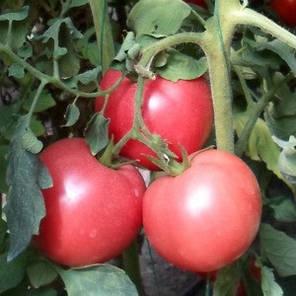 """Семена томата Хани Мун F1 (Clause) 250 семян — ранний (65 дней), розовый, форма """"круглый"""", индетерминантный., фото 2"""