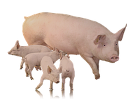 Корма, премиксы, бвмд для свиней