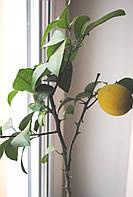 Лимон Цветущий75-100см в вазоне