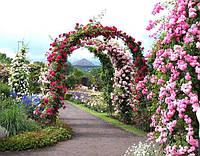Как вырастить розы в своем саду.