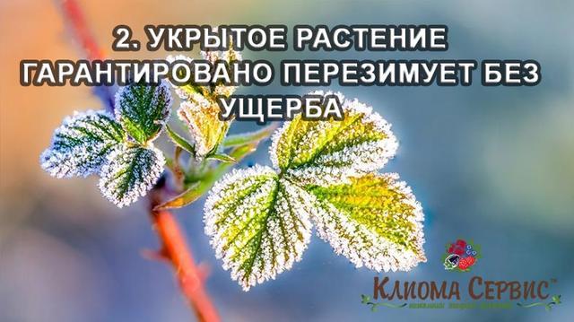 Укрытое растение гарантированно переживет зиму без ущерба.