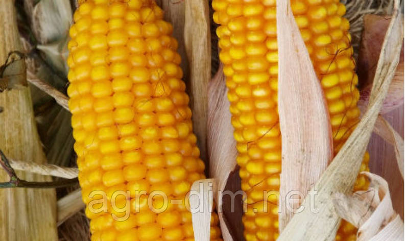 """Насіння кукурудзи """"Оржиця"""" ФАО 237, фото 2"""