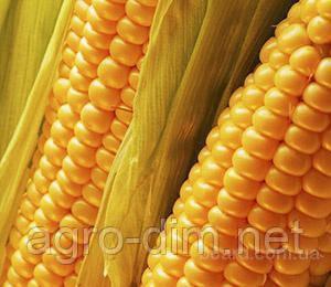 Насіння кукурудзи Хмильницький ФАО 280, фото 2